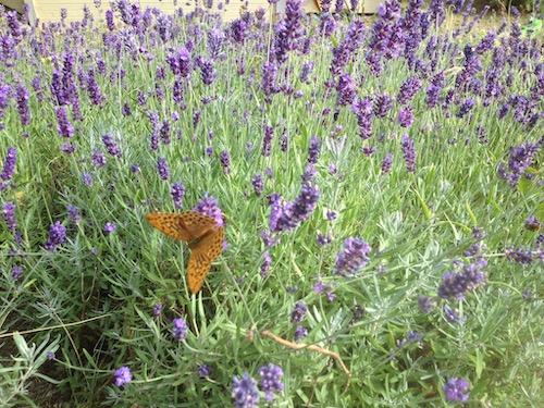 Fjäril i lavenderplantering